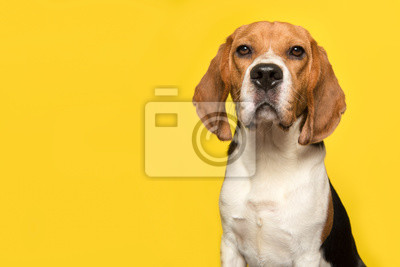 Portrait of a beagle looking at the camera on a yellow background