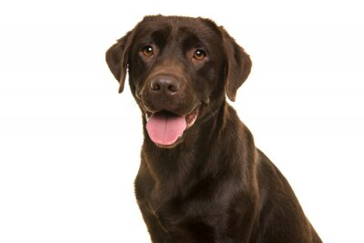 Portrait of a chocolate labrador retriever looking at the camera isolated on a white background