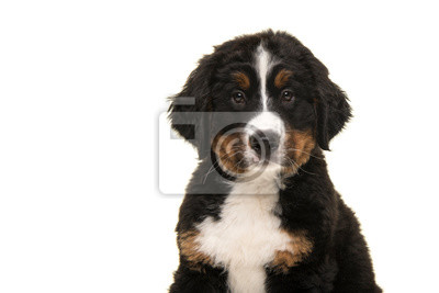 Portrait of a cute bernese mountain dog puppy looking at the camera isolated on a white background