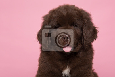 Portrait of a cute brown Newfoundland dog puppy looking at the camera on a pink background