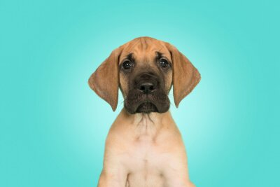 Portrait of a cute great dane puppy on a blue background with a light on the background
