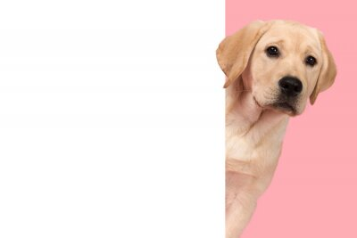 Portrait of a cute labrador retriever puppy on a pink background looking around the corner of an yellow empty board with space for copy