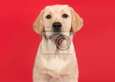 Portrait of a cute labrador retriever puppy on a red background
