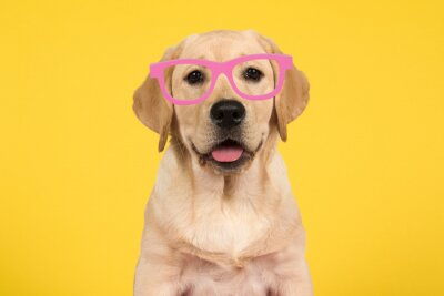 Portrait of a cute labrador retriever puppy on a yellow background wearing pink glasses