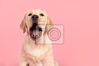 Portrait of a cute labrador retriever puppy with mouth open, yawning on a pink background