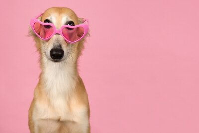 Portrait of a cute silken windsprite peaking over its pink heart shaped glasses on a pink background