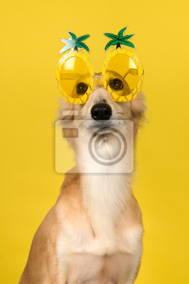 Portrait of a cute silken windsprite wearing funny pineapple summer glasses on a yellow background