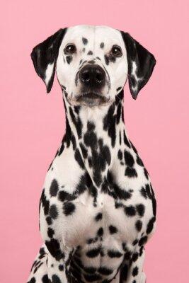 Portrait of a dalmatian dog looking at the camera on a pink background