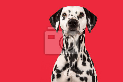Portrait of a dalmatian dog on a red background