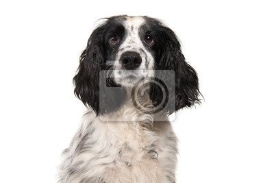 Portrait of a english cocker spaniel looking at the camera isolated on a white background