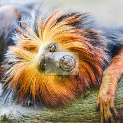 Portrait of a Golden headed lion tamarin monkey