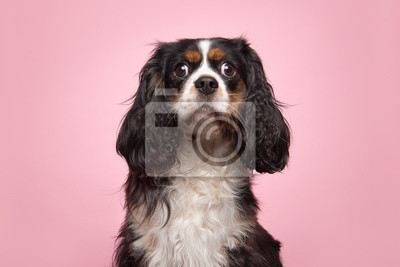 Portrait of a king charles spaniel looking at the camera on a pink background
