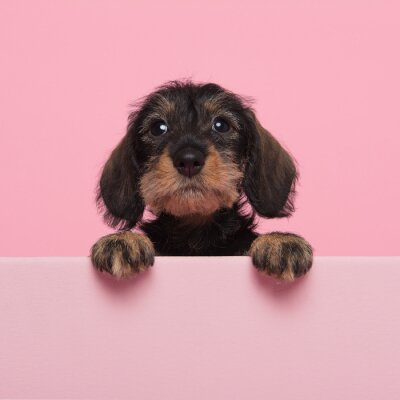 Portrait of a miniture dachshund puppy on a pink background with space for copy
