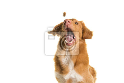 Portrait of a Nova Scotia Duck Tolling Retriever catching a coockie with mouth wide open on a white background