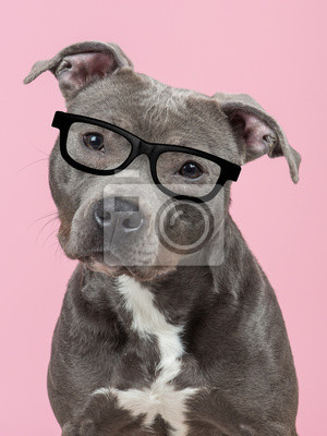 Portrait of a Pit-bull terrier dog at a pink background wearing black glasses in a vertical image