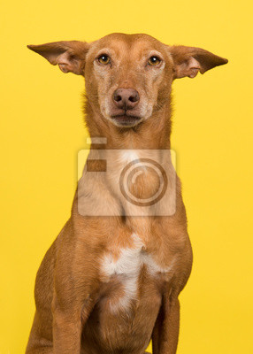 Portrait of a podenco andaluz looking at the camera on a yellow background