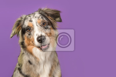 Portrait of a pretty australian shepherd dog on a purple background in a horizontal image with copy space