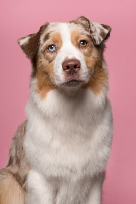 Portrait of a pretty Australian Shepherd looking at the camera on a pink background