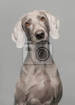 Portrait of a proud weimaraner dog on a grey background