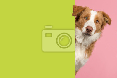 Portrait of a red border collie dog looking around the corner of a lime green empty board for copy space
