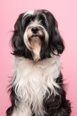 Portrait of a Tibetan terrier on a pink background