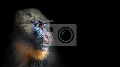 Papiers peints Portrait of colorful curious African mandrill, an alpha male at black background