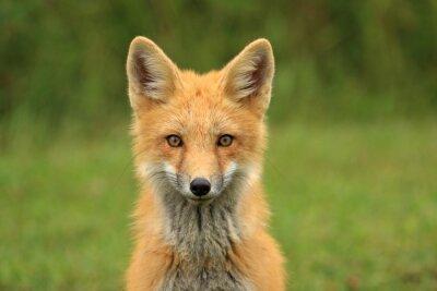 Papiers peints Portrait Red Fox Kit Head, Prince-Édouard, Canada