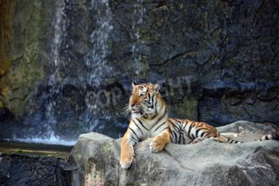 Papiers peints Portrait, tigre