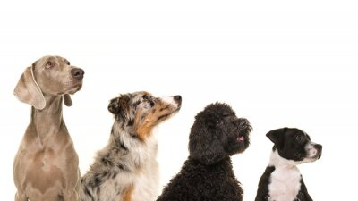 Portraits of various breeds of dogs in a row from small to large all looking up isolated on a white background