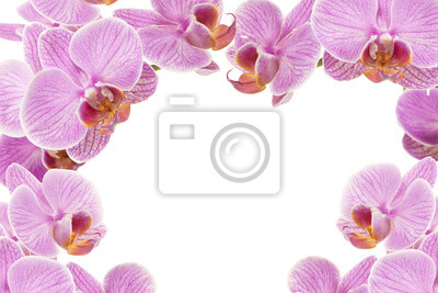 Pourpres de floraison des fleurs d'orchidées roses autour de l'image comme un cadre sur un fond blanc