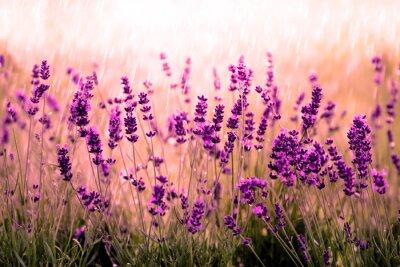 Papiers peints Pourriture Lavendelfeld