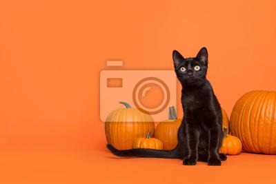 Pretty black cat between orange pumpkins on an orange background