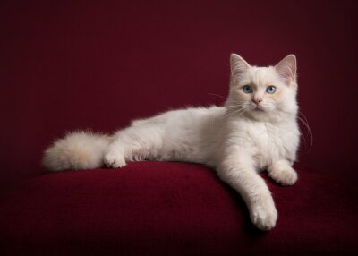 Pretty longhaired white Ragdoll cat with blue eyes lying on a burgundy red cushion on a burgundy red background in a classic look looking at the camera
