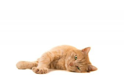 Pretty orange cat lying down looking at the camera isolated on a white background