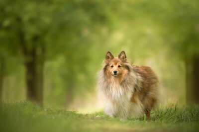 Pretty shetland sheepdog standing in a green beautiful spring forest