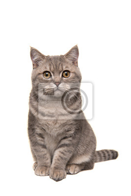Pretty sitting silver tabby british shorthair cat looking at the camera isolated on a white background in a vertical image