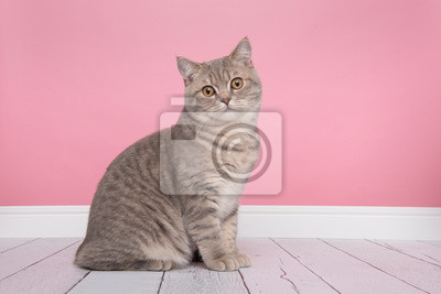 Pretty sitting silver tabby british shorthair cat looking at the camera sitting in a pink background