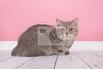 Pretty sitting silver tabby british shorthair cat sitting in a pink living room setting