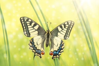 Pretty swallowtail butterfly resting in grass with wings open and bright light