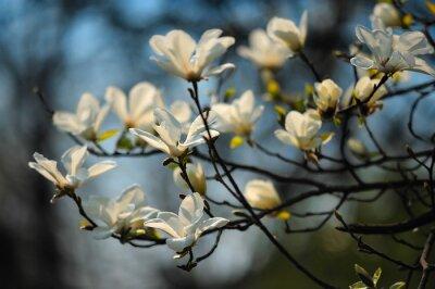 Papiers peints Printemps, arbre, fleurs, magnolia