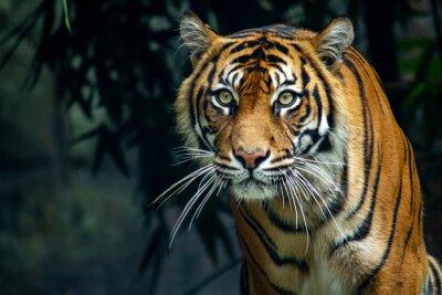 Papiers peints  Proud Sumatran Tiger prowling towards the camera