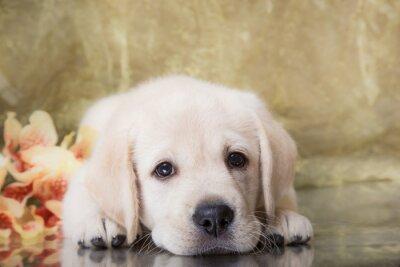 Papiers peints Puppy race labrador