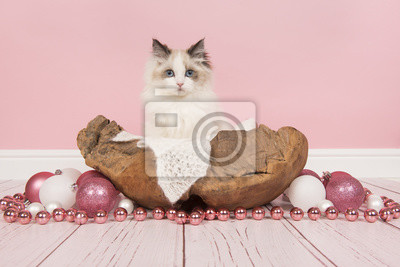 Ragdoll bébé chat aux yeux bleus dans un panier en bois entouré de décoration de Noël dans un cadre de salon rose