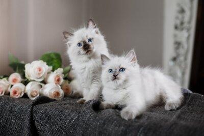 Papiers peints Ragdoll blue point petit chaton