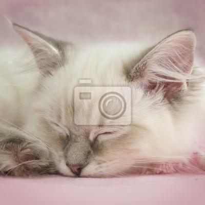 Papiers peints ragdoll chaton endormi