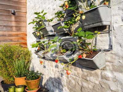 Papiers peints Rangées de fraises dans un jardin vertical accroché à un mur dans un petit patio