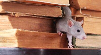 rat de bibliothèque, se concentrer sur une tête