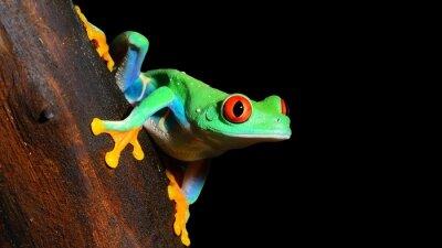 Papiers peints red-eye tree frog  Agalychnis callidryas