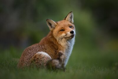 Papiers peints Red Fox assis dans l'herbe