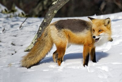 Papiers peints Red Fox dans la neige